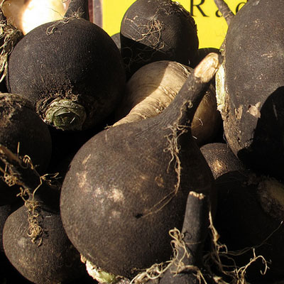 Black radishes are often referred to as black Spanish radishes. They were a common garden plant in England in France in the 1800s and are known for having a spicier flavor than their crimson counterparts.