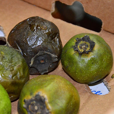 The black sapote, sometimes known as the chocolate pudding fruit because of the color and texture of its flesh is native to Central and South America. Today is it often used to make dessert in the Philippines and Mexico. In Central American the black sapote is fermented to make a liqueur.