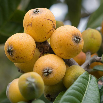 Lychees Online  Lychee Fruit Trees Products amp Info
