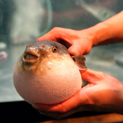 Banned food us banned foods list for Puffer fish for sale