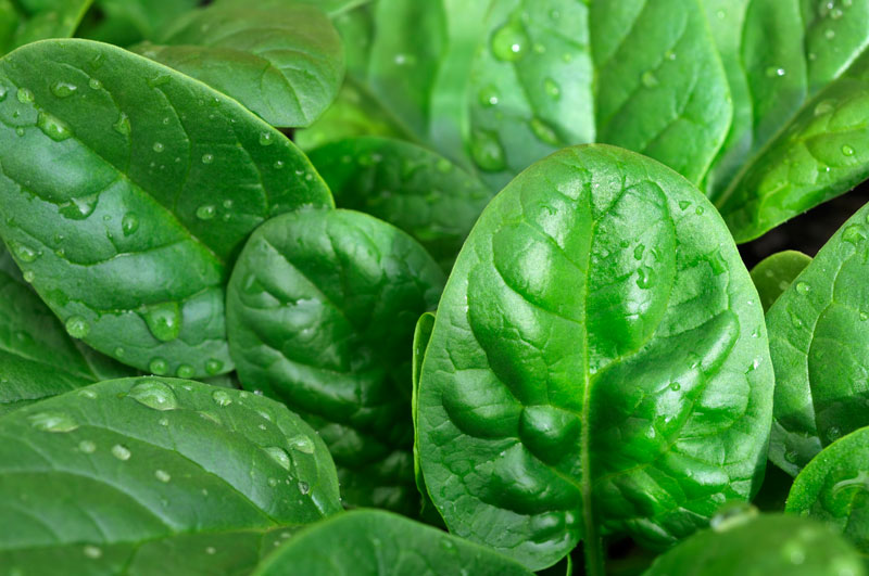 Baby Spinach Research - Plants Could Detect Chemicals