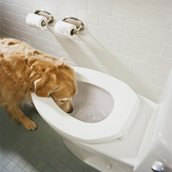 Dog drinks water form the toilet.