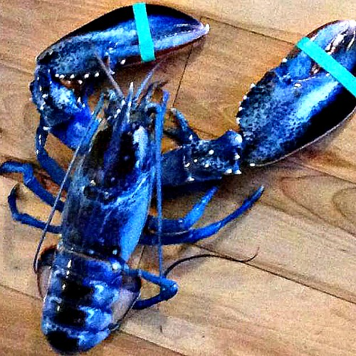 Картинки по запросу rare blue lobster